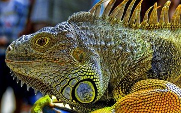 дракон, кожа, игуана