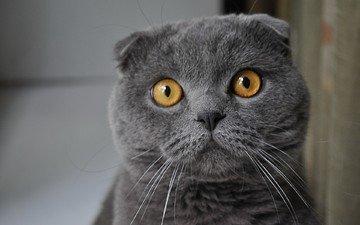 взгляд, серый, кошак