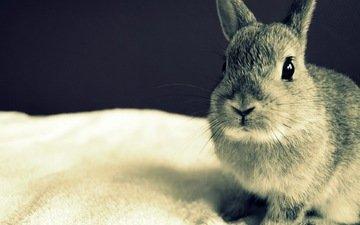 глаза, серый, кролик, уши