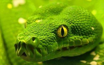 макро, змея, глаз, рептилия, удав, emerald tree boa