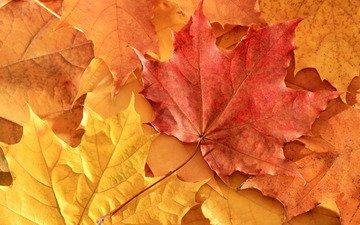 nature, leaves, autumn, maple