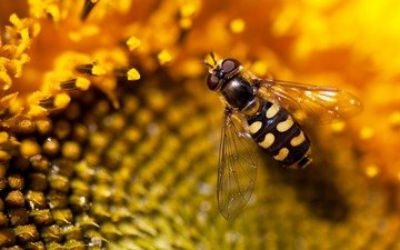 природа, обои, подсолнух, пчела