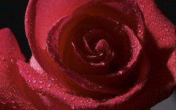 цветы, роса, капли, роза, лепестки, бутон