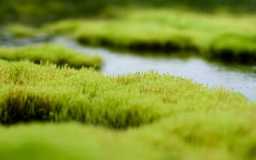 трава, вода, зелень, болото