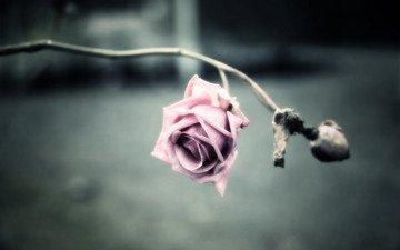 обои, фото, фон, цветок, роза, лепестки, обработка, картинка, шипы, стебель