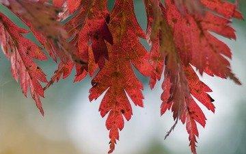 природа, дерево, листья, макро, фото, осень