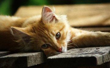 глаза, морда, взгляд, лежит, доски, зеленые, рыжий, котик, помост