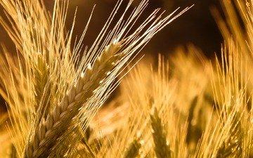 природа, обои, макро фото, macro wallpapers, пшеница, колос