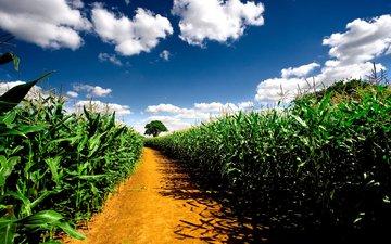 небо, дорога, природа, растения, пейзаж, поле, nature wallpapers, кукурузные поля, pathway, автодорога