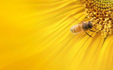 макро, подсолнух, пчела