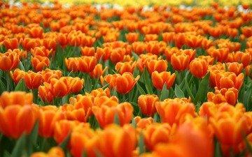 цветы, природа, поле тюльпанов