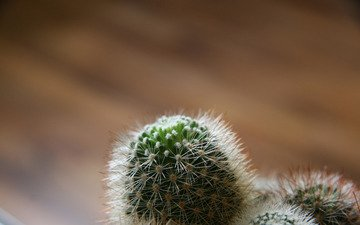 фокус камеры, кактус, иголки, против, излучения