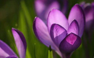 макро, фиолетовый, крокус