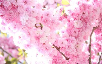 свет, цветы, солнце, дерево, цветение, ветви, весна, розовые, сакура, нежность