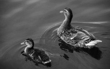 вода, озеро, утки