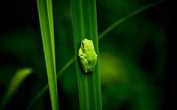 болото, лягушка, растение, на природе, грин