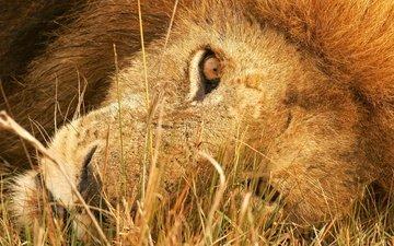 взгляд, лев, пристальный