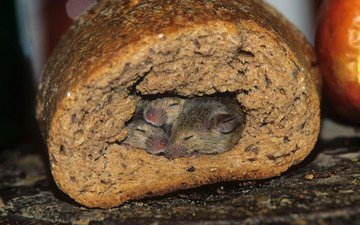 хлеб, мыши, нора