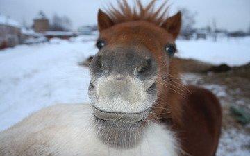 зима, усы, серый, пони, рыжий, нос, довольный