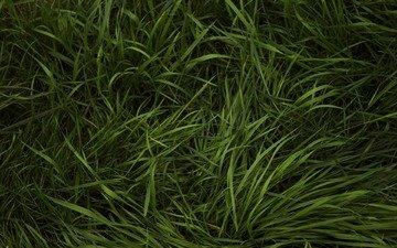 трава, зелёный, лужайка, газон