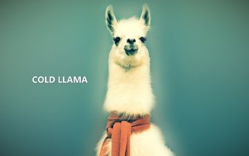 background, wool, the inscription, blue, animal, scarf, lama, eyes