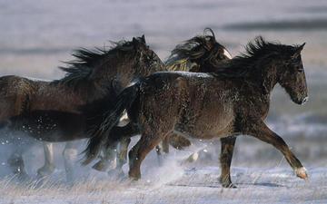 лошадь, снег, зима, жеребец