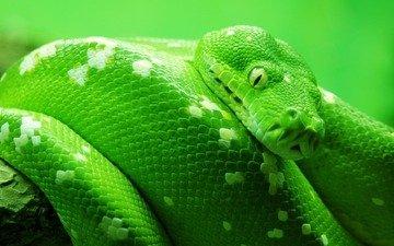 природа, макро фото, животные, обои на рабочий стол, змея, змеи, картинки для рабочего стола, животный мир