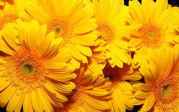 цветы, фон, желтые, очень