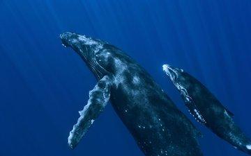 океан, под водой, киты, подводный мир