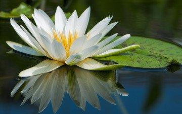 вода, макро, отражение, лилия, белая, нимфея, водяная лилия