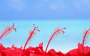 цветы, красный, голубой, пестик