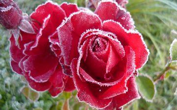 бутоны, розы, иней