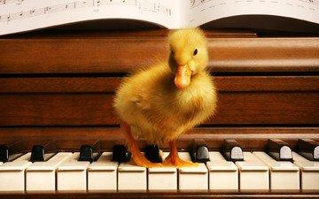 ноты, клавиши, утенок
