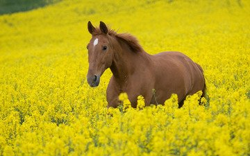 the sky, flowers, horse, nature, plants, photo, animals, field, horses, yellow, stallion