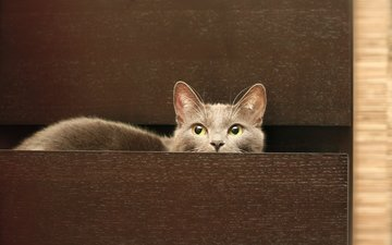 кот, кошка, серый, комод