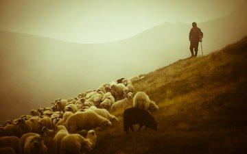 горы, фото, животные, пейзажи, красота, овцы, овчарка, овечки, пастырь, пастух