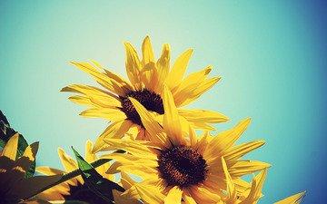 небо, цветы, желтый, лето, подсолнух, подсолнухи, синее