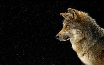 снег, профиль, волк, national geographics