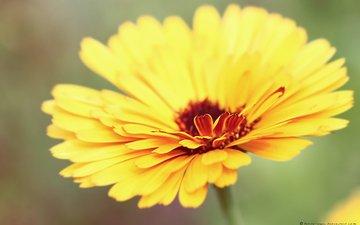 yellow, macro, petals