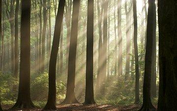 деревья, природа, обои, лес, солнечные лучи, фоновые рисунки