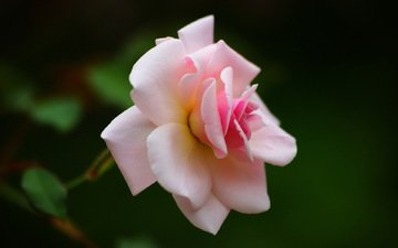 роза, шипы, чайная