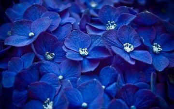 цветы, синий, бутон, соцветие