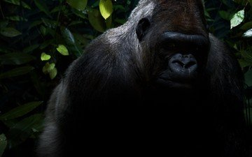 животные, черный, черная, обезьяна, джунгли, горилла, горила