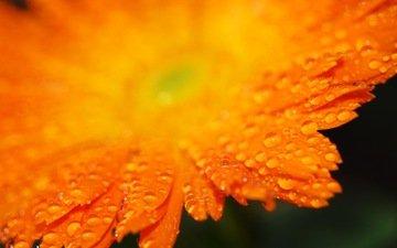 капли, лепестки, оранжевый, гербера
