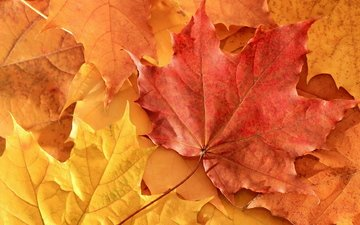 leaves, autumn, maple