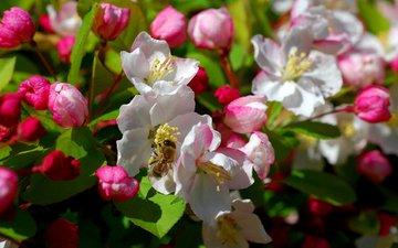 цветы, дерево, цветение, насекомое, весна, пчела