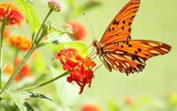 цветок, бабочка, пыльца, нектар