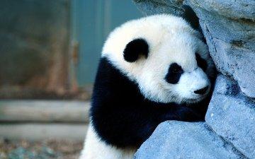грусть, панда, медведь