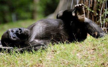 отдых, обезьяна, горилла, примат
