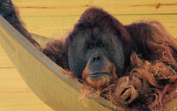шерсть, стена, гамак, обезьяна, солома, орангутанг, орангутан